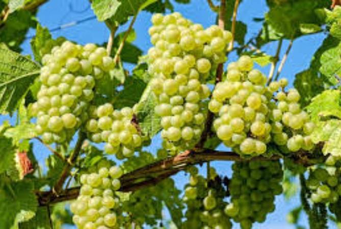 Hay acuerdo por el precio de la uva: 20 pesos el kilo