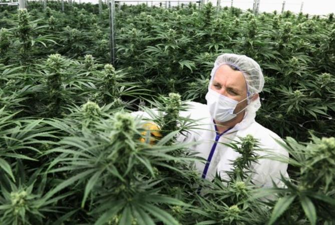 Legalizan el autocultivo de cannabis y venta de aceites en farmacias